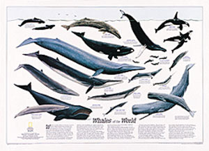 National Geographic Whales of the World Wall Map